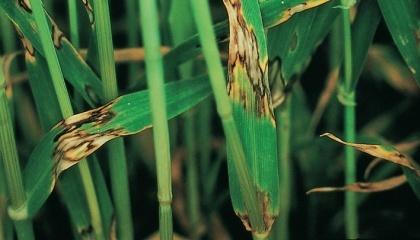 У Поліссі 1-3% рослин озимого ячменю вражені ринхоспоріозом