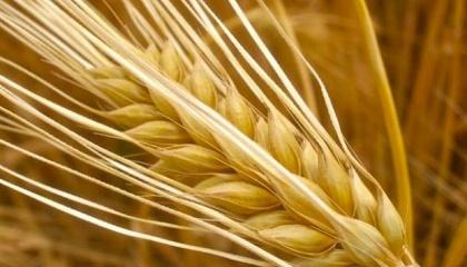 За оцінками УкрАгроКонсалту, виробництво ячменю в країні може скоротитися до мінімального рівня за останні п'ять років