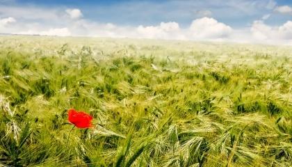 З огляду на те, що рентабельність вирощування ячменю в Україні має один з найнижчих показників серед інших зернових, посівні площі під ним з кожним роком трохи зменшуються