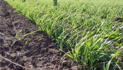 Вследствие похолодания у яровых зерновых культур будет происходить задержка ожидаемого наступления фаз развития на 5-7 суток. В сложившейся ситуации возможно отмирание краев листового аппарата, который способен к быстрой регенерации
