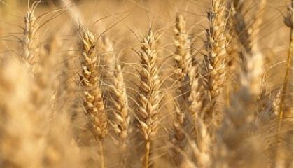 Объемы производства кукурузы и ячменя в Украине в 2017-2018 маркетинговом году вырастут