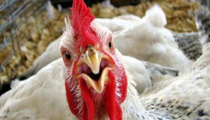 Білорусь з 5 січня 2017 року тимчасово обмежила ввезення м'яса птиці з Чернівецької області України в зв'язку з виявленням в даному регіоні випадки захворювання птиці на високопатогенний грип