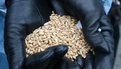 """Директор держпідприємства у змові з керівниками двох приватних компаній організували злочинну схему, через яку """"Червоний землероб"""" у липні-листопаді 2015 року втратив зерно на суму понад 23 млн грн"""