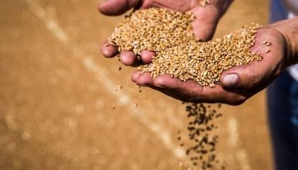 Прогноз урожая кукурузы уточнено к среднему уровню диапазона предыдущей оценки - 62 млн т
