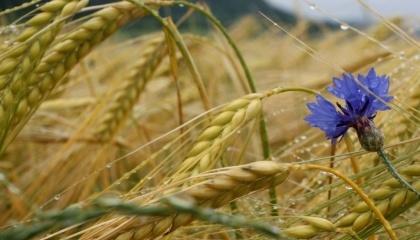 Согласно данным Белстата за январь-сентябрь 2016 г. Украина занимает 65,6% всего экспорта ржи Белоруссией, при том, что в прошлом году поставок в Украину вообще не осуществлялось