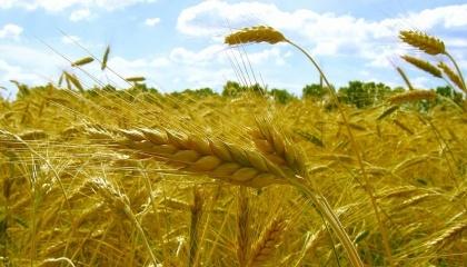 В умовах поновлення рекордів по обсягам зборів зернових в Україні виробництво жита демонструє стабільно негативну динаміку