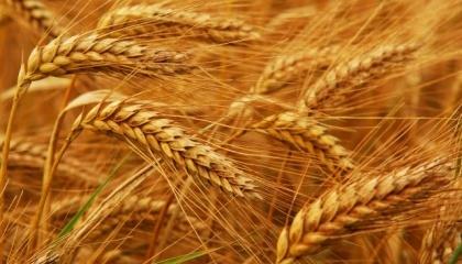 Единственным, что удержало прошлогодний урожай от антирекорда, стало повышение урожайности - до 27,3 ц/га (+ 11,9% по сравнению с 2015 годом)