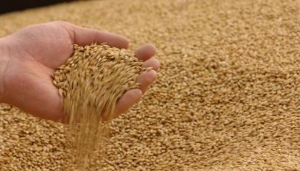 За попередніми прогнозами, середня світова ціна на продовольчу пшеницю за наступний маркетинговий рік може зрости до 15% за підсумками року