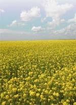 Високопоживні багатокомпонентні однорічні травосумішки фото, ілюстрація