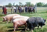 Свинарство: розвиток у поєднанні наукової та виробничої програм фото, ілюстрація