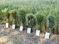 Система захисту ярої пшениці від шкідників і хвороб фото, ілюстрація