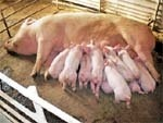 Євростандарти у свинарстві: максимум ефективності  фото, ілюстрація