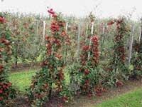 Виробництво фруктів у Нідерландах фото, ілюстрація