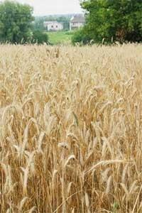 Попелиці на зернових культурах фото, ілюстрація