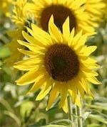 Повернемо соняшник  на українські лани фото, ілюстрація