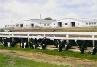 Котра корова мало реве,  та молока багато дає фото, ілюстрація