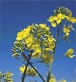 Способи підвищення врожайності ріпаку фото, ілюстрація