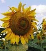 Своєчасно та якісно  провести висівання соняшнику фото, ілюстрація