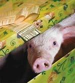 Торік свинства було багато фото, ілюстрація