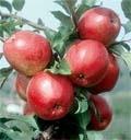 Резистентні сорти:  нові підходи до  вирощування яблук фото, ілюстрація
