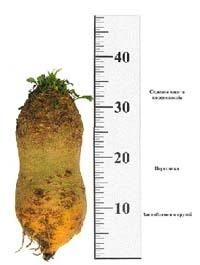 Цінність і технологія вирощування кормових буряків фото, иллюстрация