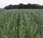 Світовий ринок пшениці фото, ілюстрація