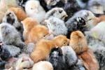 """""""Курячий парадокс"""",   або Вирощування м'яса на балконі фото, ілюстрація"""