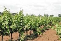 Амброзія полинолиста на виноградниках Одеської області фото, ілюстрація