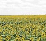 Нові сорти соняшнику  адаптовані до несприятливих умов вирощування фото, ілюстрація