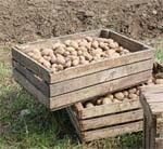 Картоплярство Півдня:  віддаємо перевагу раннім сортам фото, ілюстрація