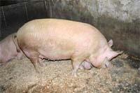 Коли свинина стає прибутковою фото, ілюстрація