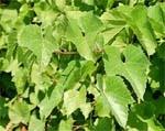Бактеріальне в'янення винограду — нова небезпека виноградарству України фото, ілюстрація