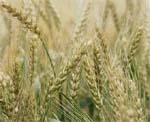 Інтегрований захист зернових колосових культур  від шкідливих організмів фото, ілюстрація