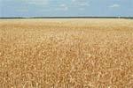 Прогноз розвитку та поширення шкідників і хвороб зернових колосових культур у 2008 році фото, иллюстрация