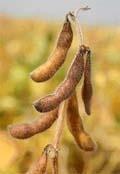 Перспективи вирощування кукурудзи та сої на зрошуваних землях Півдня України фото, ілюстрація
