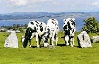 Молочне скотарство  Великої Британії фото, ілюстрація