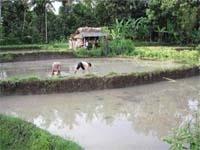 Рисівництво Індонезії фото, ілюстрація