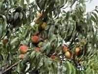 Інсектициди для захисту персикових садів від східної плодожерки в Україні фото, ілюстрація