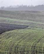 Клоп шкідлива черепашка  та проблема якості зерна  озимої пшениці фото, ілюстрація
