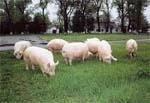 Свині добре ростуть,  якщо не нудьгують фото, ілюстрація