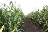 Урожай кукурудзи залежатиме від рівня догляду за посівами фото, ілюстрація