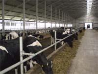 Ефективна альтернатива:  легкозбірні корівники фото, ілюстрація