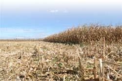 В Україні передбачається підвищення врожайності і валових зборів кукурудзи фото, ілюстрація