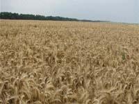 Європейська врожайність  на українському полі фото, ілюстрація