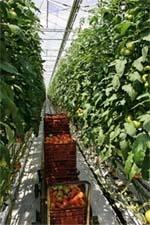 Система захисту овочевих культур закритого грунту фото, ілюстрація