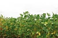 Поповнення ринку  сортів рослин: соя культурна фото, ілюстрація