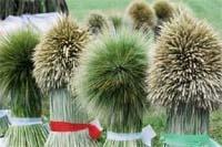 Кращі нові сорти пшениці — запорука високих і стабільних урожаїв фото, ілюстрація