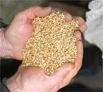 Проблема якості зерна озимої пшениці врожаю 2008 року  в Запорізькій області фото, ілюстрація