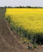 Український ріпак зможе задовольнити апетити Європи. Але з якою вигодою?.. фото, ілюстрація