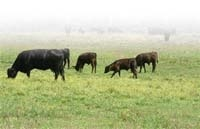 Племінна м'ясна худоба —  це добре, але не вигідно? фото, ілюстрація